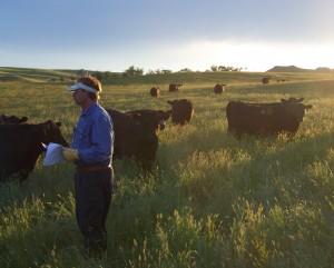 yearling heifers